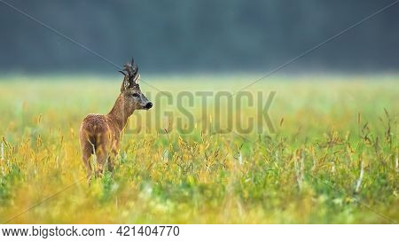 Strong Roe Deer Male With Antlers Looking Aside On Colourful Sunny Meadow