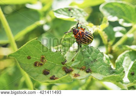 Colorado Potato Beetle Hanging On A Gnawed Potato Leaf. Close-up. An Illustration About Insects, Pes