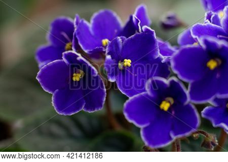 Macro Photo Of Many Blossoming African Violet Flower Saintpaulia In Blue Colors.