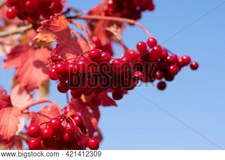 Red Mature Berries Of Viburnum On A Bush In The Garden On Blue Sky. Branch Of Red Viburnum As Season