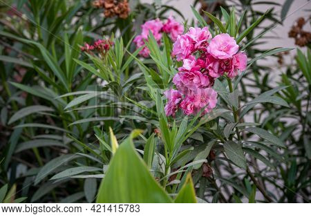 Oleander Beautiful Flower With Green Leaves In Outdoor