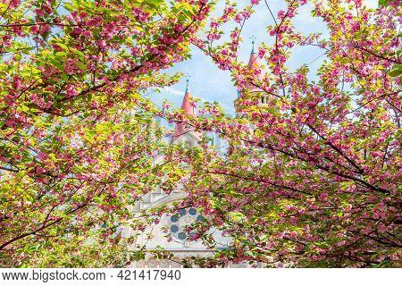 Blooming Sakura Tree On Mexicoplatz Square At St. Francis Of Assisi Church In Spring, Vienna, Austri