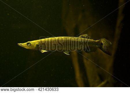 Silver Gar, Rocket Gar, Hujeta Gar, Freshwater Barracuda(ctenolucius Hujeta).