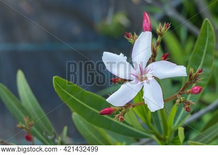 White Flower Of Oleander Plant Seen With Daylight In Summer