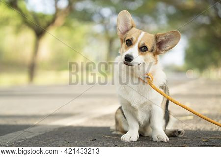 Corgi Dog Sitting On The Road In Summer Sunny Day