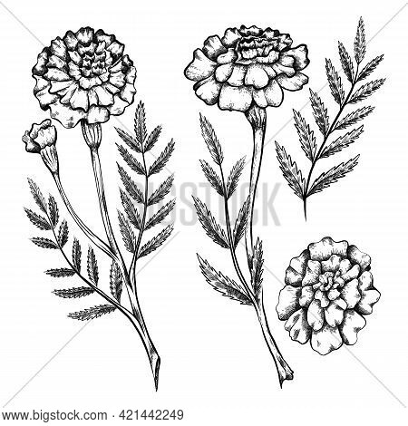 Set Of Botanical Sketch Of Various Marigold Flowers With Shading. Vector Monochrome Floral Natural D