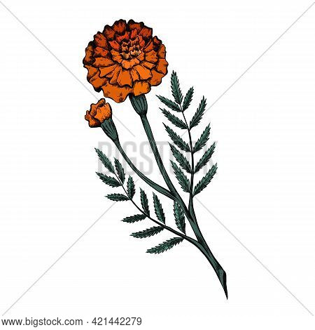 Colored Botanical Sketch Of A Marigold Flower With Shading. Vector Floral Natural Drawing. Outline P