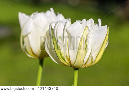 Beautiful Spring Flowers Of White Color Tulips Blooming In The Garden, Close Up