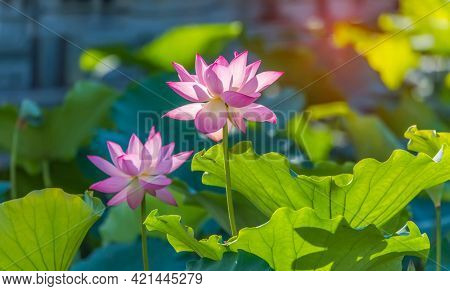 Beauty pink lotus or water lily is in closeup in lotus pond