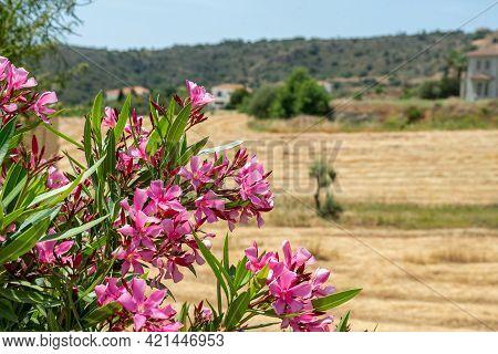 Pink Oleander Flowers In The Garden In The Village