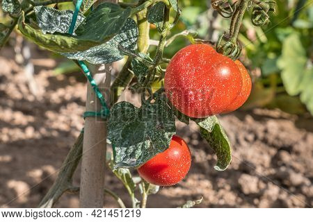 Sprayed Tomatoes With Pesticides, Herbicides And Insecticides - Unhealthy Eating Concept