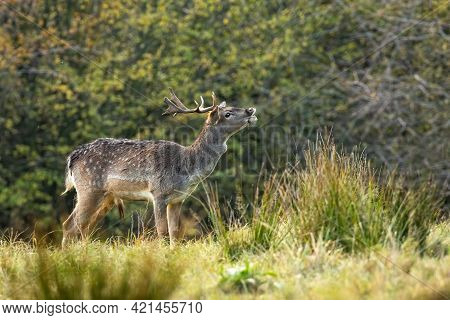 Spotted Male Of Fallow Deer Sniffing On The Meadow In Autumn Rutting Season