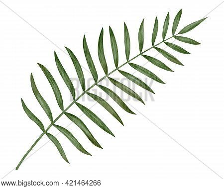 Tropical Palm Leaf Hand-drawn Watercolor Illustration Isolated On White Background