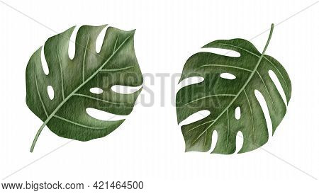 Monstera Deliciosa Tropical Leaves Hand-drawn Watercolor Illustration Isolated On White Background