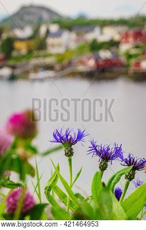 Fjord Coast Landscape. Spring Flowers And Typical Norwegian Fishing Village, Reine Lofoten Islands,
