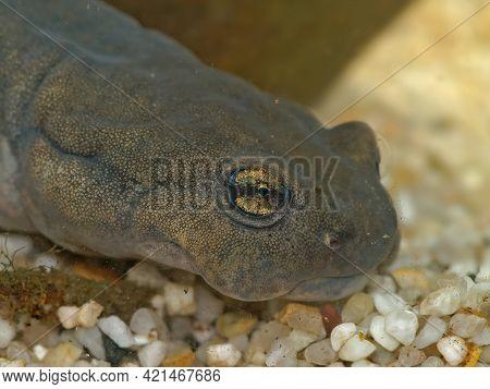 Closeup On The Eye Of A Critical Endangered , Russian Semirechensk Salamander, Ranodon Sibiricus