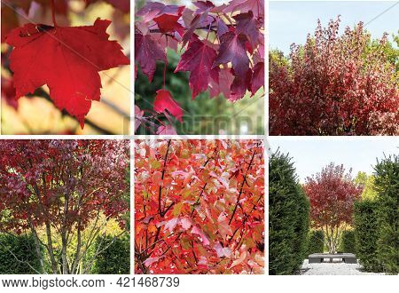 Red Maple, Acer Rubrum, Autumn View. Collage Of Different Tree Angles.