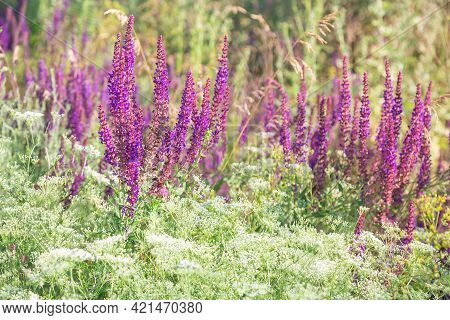 Blooming Sage For Herbal Medicine. Summer Natural Floral Background With Flowers Of Medicinal Healin