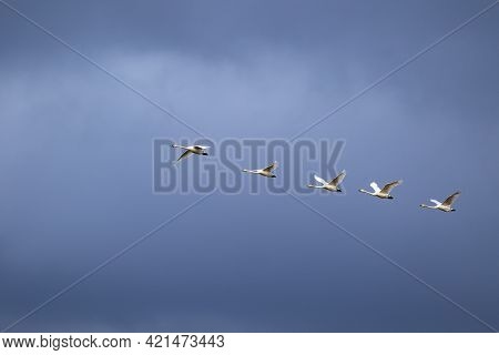 Five Large White Migratory Birds, Whooper Swans (cygnus Cygnus) In Flight Against Dark Blue Sky