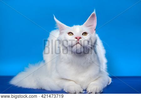 Maine Coon Cat - Large Domesticated Longhair Cat Breed. Portrait Of Adorable White Color Female Coon