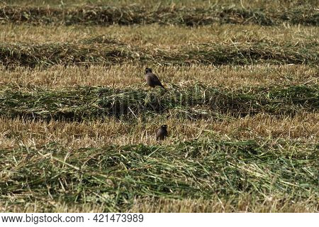Closeup Of Myna Birds On Agricultural Field With Strips Of Freshly Cut Grass