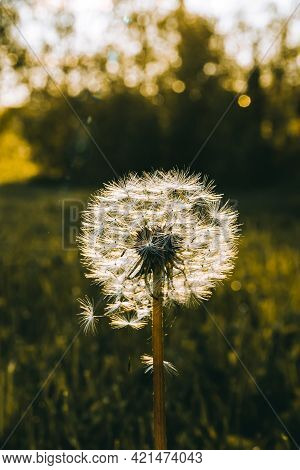 White Dandelion On A Background Of Grass In The Sunset Light. Alone. Weed Removal. Make A Wish. Nobo