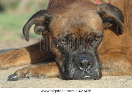 Brindle Boxer