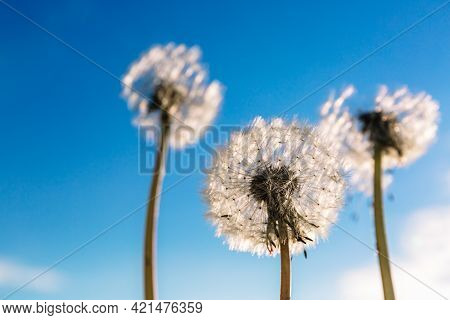 White Dandelion On A Background Blue Sky. Three. Weed Removal. Make A Wish. Nobody. Outdoor. Vertica