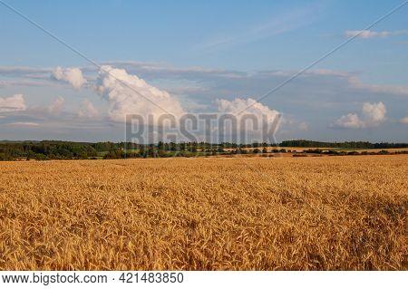 Wheat Field. Ripening Ears Of The Field Of Wheat. Wheat Ears On Field Under Blue Sky