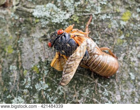 Emerging Cicada from Its Skin