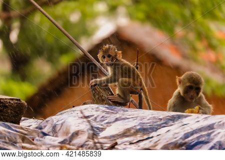 Monkey Sited On Wall In Rain , Little Baby  Monkey
