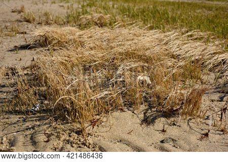 Saltwater Marsh Grass Growing On A Sandy Beach.