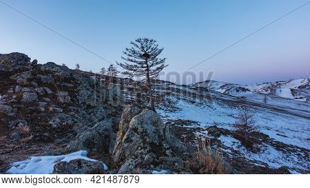 On The Snow-covered Hillside There Are Several Leafless Trees, Dry Grass. Pinkish Blue Morning Sky.