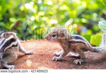 Small Squirrels Lost In The Wild, Cute And Adorable Newborn Orphan Squirrel Babies Barely Can Walk A