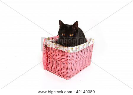 British Black Cat In A Pink Basket Isolated On White Background