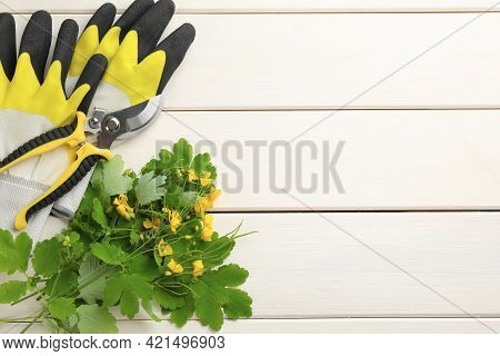 Celandine With Gardening Gloves And Pruner On White Wooden Table, Flat Lay. Space For Text