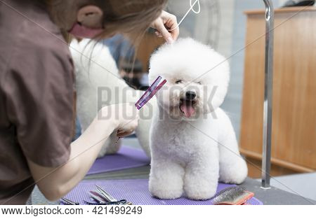 Bichon Frise Grooming. Happy Bichon Frise. Grooming By A Professional Groomer In The Salon.