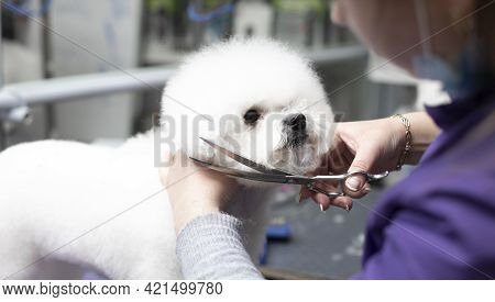 Bichon Frise Grooming. Happy Bichon Frise. Grooming Process. Dog Grooming. The Groomer Holds The Dog
