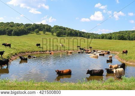 Large Herd Of Cattle Cows Wading In A Cool Water Pond In A Green Ranch Farm Pasture And Blue Sky Bey