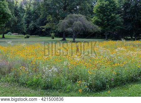 Large Group Of Blooming Yellow Wild Flowers Growing In A Rural Grassland Field Backyard