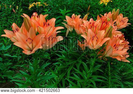 Floral Alley. Coral Lilies (latin: Lilium) In Garden. Precise Selective Focus.