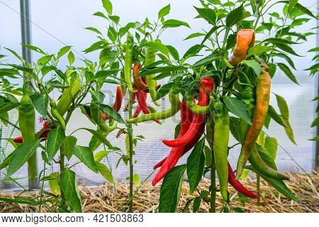 Chili Peppers In The Greenhouse. Homegrown Organic Food, Chili Peppers Ripening In Garden.