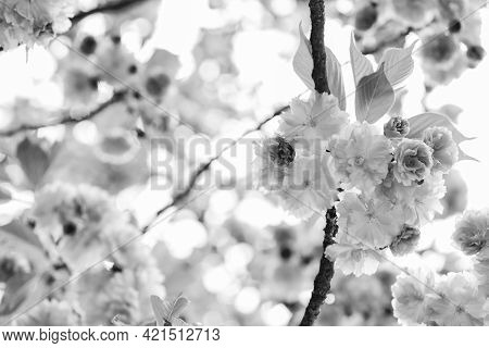 Perfect Spring Day. Sakura Blooming Tree., Natural Floral Background. Beautiful Spring Flowers. Cher