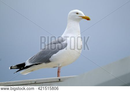The European Herring Gull Is A Large Gull, Up To 66 Cm Long. One Of The Best-known Of All Gulls Alon