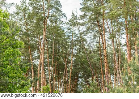 Beautiful Forest With Tall Pine Trees Outside The City On A Warm Summer Day