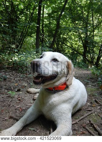 Truffle Dog Is Resting In A Forest, La Morra, Piedmont - Italy