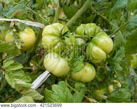 Close Up Of  Bunch Of Green Tomato On Plant In Garden, Healthy Homegrown Food