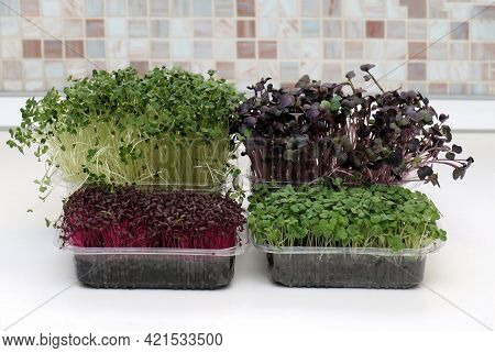 Several Healthy Microgreens Plants Growing Inside Home Garden In Plastic Containers