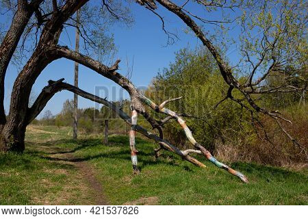 A Spring Green Clearing With A Forked Tree, The Branches Bent To The Ground Forming An Arch.