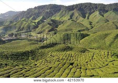 Beautiful tea Farm